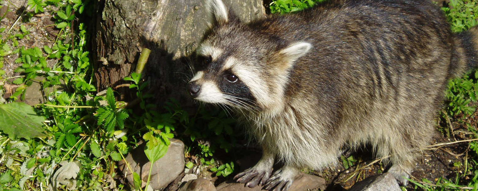 picture of small raccoon